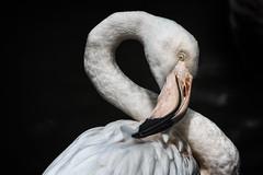 I think this will be the one (Fotos4RR) Tags: schmiding oberösterreich upperaustria flamingo bird vogel feder feather onefeather einefeder animal tier contemplating überlegend putzen cleaning