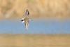 Flag (gseloff) Tags: leastsandpiper bird flight bif peep animal wildlife nature water bayou horsepenbayou pasadena texas kayak gseloff