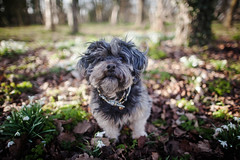 8/52 - New Ground. (Kirstyxo) Tags: teddy cute woods snowdrops 852 52weeksfordogs 52weeksfordogs18 52weeksfordogs2018