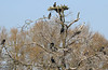 Cormorant Roost (Dave Russell (1 million views thanks)) Tags: bird birds wild life wildlife nature roost cormorant cormorants tree asleep reserve deeping lakes south site scientific interest canon 7d lincolnshire