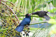 Common Koel 噪鵑 (Jeffreycfy) Tags: birds birding wildlife nature commonkoel cockoos cuculidae eudynamysscolopacea nikon d500 nikkor200500mmf56e 杜鵑科 噪鵑 攀禽 tc14eiii