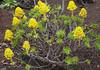 Aeonium arboreum (waynorth) Tags: aeoniumarboreum aeonium spanien botanischergarten blüten succulenten gelb