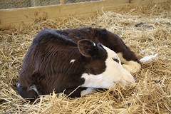 Calf (2/52) (Stu.G) Tags: project52 project 52 project522018 522018 7jan18 7thjanuary2018 7th january 2018 january2018 7thjanuary 7118 070118 712018 07012018 canoneos40d canon eos 40d canonefs1785mmf456isusm efs 1785mm f456 is usm england uk unitedkingdom united kingdom britain greatbritain d europe eosdeurope calve mini meadows farm welford northamptonshire minimeadowsfarmwelfordnorthamptonshire minimeadowsfarm welfordnorthamptonshire cow animal hay calf