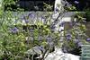 Australia.  Sydney. Jacaranda mimosifolia. (Anne & David (Use Albums)) Tags: australia sydney darlingharbour flamingofountain jacaranda mimosifolia