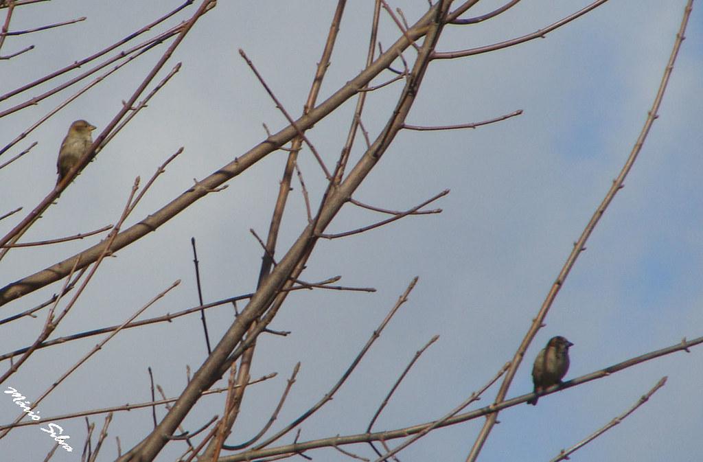 Águas Frias (Chaves) - ... duas pequenas aves em ramos desfolhados, aproveitando um dia de céu azul ... ...