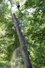 DSC_2263 (markpeterson1) Tags: jdtreepros redoak treeremoval