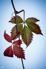 Blatt leaf (hanspirkie) Tags: pflanze färbung herbst herbsttag herbstzauber bäume farbpigmente outdoor baum fauner flowers laub himmel 700d eos canon austria niederösterreich