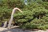 Kõver mänd (Jaan Keinaste) Tags: pentax k3 pentaxk3 eesti estonia loodus nature harjumaa laulasmaa mänd pine meri sea puu tree