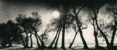 Tree Boogie (micalngelo) Tags: analog filmphoto alternativeprocess alternativephotography lithprint lithprocess holga holgapan trixfilom trees montana plasticcamera lomography pano panorama