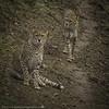 Brothers (www.hikariphotography.co.uk) Tags: cats cheetahs spots animals dzp zoo wildlife bigcats