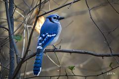 Blue Jay (jt893x) Tags: 150600mm bird bluejay cyanocittacristata d500 jay jt893x nikon nikond500 sigma sigma150600mmf563dgoshsms songbird thesunshinegroup alittlebeauty coth