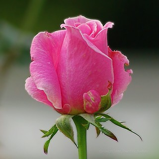 Remembering Summer Rosebud