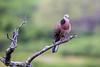 dove (EdgarJi) Tags: makapuu hawaii