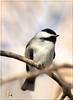 Chickadee Art (Vidterry) Tags: chickadee blackcappedchickadee nikond300 nikkor200500mm450mm 11600thf71 iso800 ev00 handheld