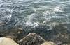 DSC_2908sg (rlowe3) Tags: yaquina bay herring spawn birds predation gulls seals sealions