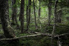 Ushuaia, Tierra del Fuego, Argentina (pas le matin) Tags: forest forêt wood bois tree arbre travel voyage world ushuaia argentine argentina southamerica tierradelfuego terredefeu green vert light lumière canon 5d canon5d canon5dmkiii canoneos5dmkiii eos5dmkiii 5dmkiii