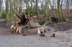 Storm in the Netherlands (Elisa1880) Tags: storm boom tree omgevallen fallen meer en bos den haag the hague trunk