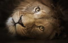 Blickkontakt (ellen-ow) Tags: katzenartige raubtiere tsavo groskatze löwe lion säugetier tier animal augen eye ellenow nikond5