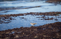 Sandpiper (Caryn Sandoval) Tags: california tidepools tidepool nature ocean sea sealife sunset
