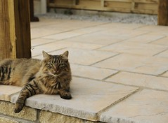 Chalice Paving with Cat! (BowlandStone) Tags: chalice paving patio garden yard bowland stone design landscape