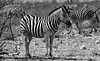 Namibia's Beauty:  Zebras in Etosha National Park (ronmcbride66) Tags: namibia namibiasbeauty etosha zebras monochrome wildlife thornbush desert etoshanationalpark grazing coth5