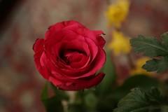 180124001 (murbozero) Tags: murbo japan flower