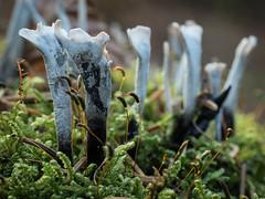 Geweihförmige Holzkeule (Xylaria hypoxylon) (dr.klaustrumm) Tags: baum wald holzkeule xylaria pilz moos