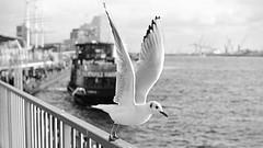take off (jurihock) Tags: hamburg film day gull animals nikonfe2 ilfordhp5 ilfordid11 50mm noiretblanc seagull landungsbrücken