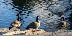 Whos Going in First? (Jocey K) Tags: newzealand nikond750 southisland christchurch water avon avonriver ripples canadagoose cbd