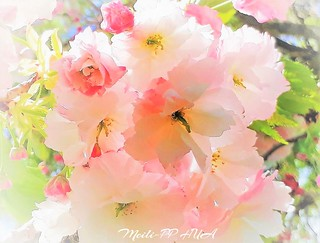 344. PAINTERLY 16: Sakura First Blush Of Spring
