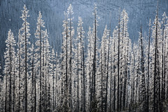 (Marie-Laure Even) Tags: 2017 amériquedunord arbre backlit backlighting britishcolumbia canada colombiebritannique contrejour december décembre fjall forest forêt hiver kootenaynationalpark landscape marielaureeven montagne mountain nature neige nikond7100 northamerica paysage roadtrip snow travel tree voyage wild wilderness winter wood гора природа eastkootenayg