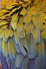Harlequin Macaw Feathers (ChrisF Photography) Tags: harlequin macaw parrot feathers rainbow spectrum color colors beautiful nature bird exotic animal red green orange blue purple yellow hybrid
