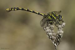 Onychogomphus uncatus. Young male (2) (Ricardo Menor) Tags: odonatos anisópteros libélulas dragonflies dragonfly iluminaciónnatural airelibre onychogomphusuncatus macho male youngmale inmaturemale qddblauverd2017 gómfidos gomphidae