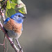 Western Bluebird (m)