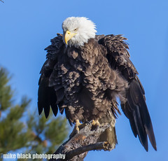 Bald Eagle shakes feathers Nj shore Canon 5DS 800mm (Mike Black photography) Tags: bald eagle bird nature birding canon 5ds 600mm 800mm nj new jersey shore 1dx 400mm f28 l is usm lens black white wildlife raptor feathers sky blue february 2018 mike