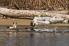 Water walkers (JMFusco) Tags: commonmerganser connecticutriver birds connecticut bird wildlife nature