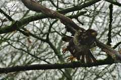 Launch (petejam70) Tags: eagle birdsofprey britishcolumbia beauty nature naturewatcher majestic young park vancouvercanada