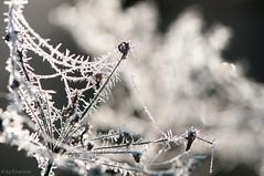 Hoarfrost on Umbels (Enaruna) Tags: dolden frost frosty frostyrime hoarfrost ice icy light pflanze pflanzen plant plants raureif reif rime sonnenaufgang sonnenlicht sonnenschein sunlight sunrise sunshine umbel umbels winter