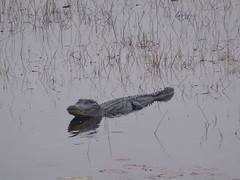 American Alligator at St. Mark's National Wildlife Refuge (fotosinflorida) Tags: florida alligator wildlife refuge stmarks coastal swamp swampland water