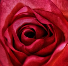 Macro on Monday! 😀👍😀 (LeanneHall3 :-)) Tags: red rose rosepetal petals macro macroextensiontubes closeup closeupphotography flower flowerarebeautiful flowersarefabulous flowerflowerflower canon 1300d