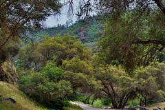Greens of Tree Leaves on the California Hillsides