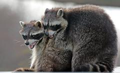 Raccoon Blijdorp BB2A8763 (j.a.kok) Tags: raccoon wasbeer amerika america animal blijdorp zoogdier dier omnivore