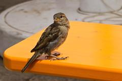 IMG_6720 (Lightcatcher66) Tags: spatzensparrows florafauna makros lightcatcher66