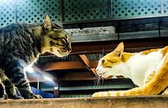 cat vs cat (Ahmed N Yaghi) Tags: cat vs cats dark white light orange fight challenge battle