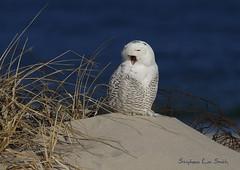 Wired (slsjourneys) Tags: snowyowl owl beach islandbeachstatepark