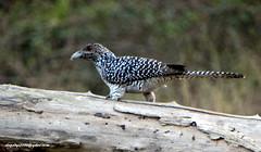 DSC00504 Asian Koel-Female (Eudynamys scolopacea) (vlupadya) Tags: greatnature aves fauna indianbirds asian koel rudynamys kundapura karnataka