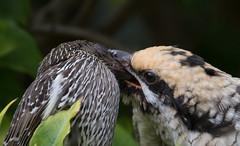 Pacific koel (Eudynamys orientalis)-9745 (rawshorty) Tags: rawshorty birds australia nsw portmacquarie