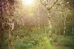 Mystische Bäume (alexausweiler) Tags: trees landscape kylemoreabbey ireland woods instagram gegenlicht color galway wald natur baum irland ie