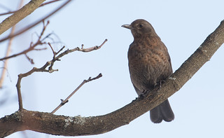 The Blackbird of the Day