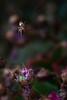 Epeire funambule (Djynie) Tags: insecte araignée épeire lilas rose